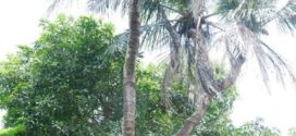 Pohon Kelapa Langka di Jepara, Ini Asalmulanya